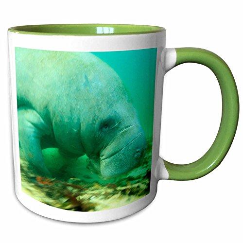 3dRose Danita Delimont - Marine Life - Solitary Manatee swimming in the Weeki Wachee River Florida - 11oz Two-Tone Green Mug mug_230483_7